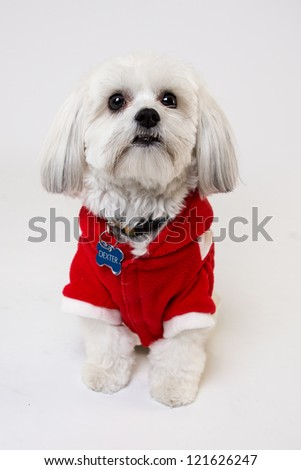 Maltese Isolated on white with a Christmas jacket sweater
