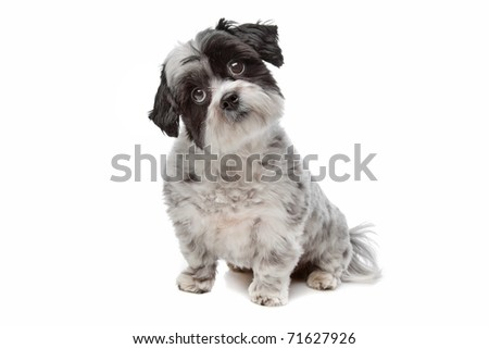 Maltese mix dog