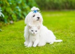 Maltese puppy  hugging chinchilla cat on green grass