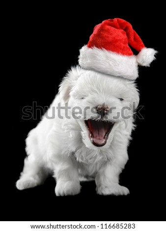maltese puppy isolated on the black background