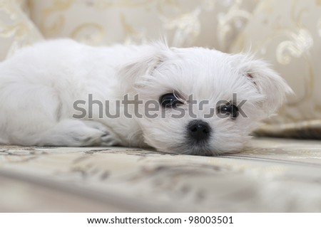 Maltese puppy lying on the sofa