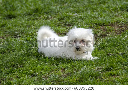 Maltese puppy - Maltese dog breed