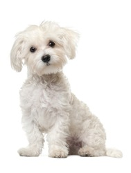 Maltese puppy, 6 months old, sitting in front of white background