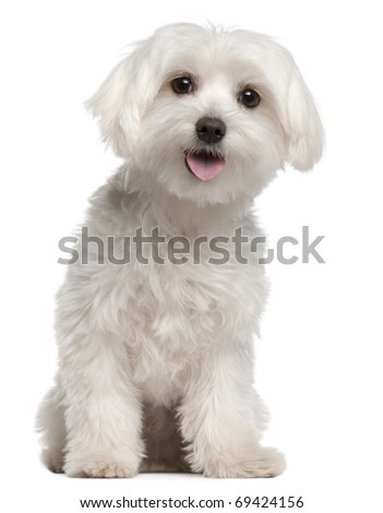 Maltese puppy, 9 months old, sitting in front of white background