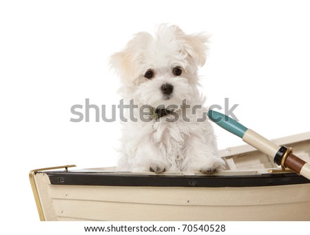 Maltese puppy posing for a photo in a boat.