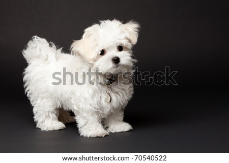 Maltese puppy posing in the studio for a shot.  Wild hair.