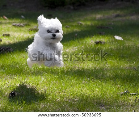 maltese puppy running