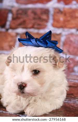 Maltese puppy with Christmas decoration