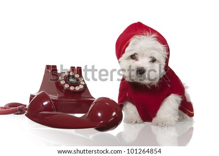 maltese puppy with red coat and red retro telephone