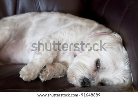 Maltese Resting on Chair.
