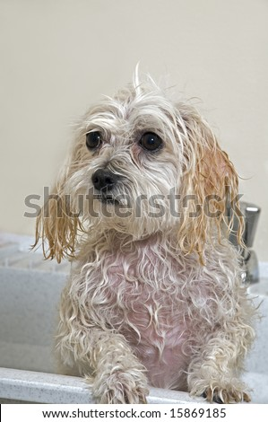 Maltese - Toy Poodle Mix (Maltipoo). Puppy Taking A Bath Stock Photo ...