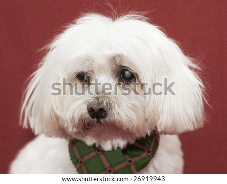 maltese with cataracts