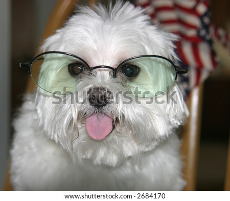 Maltese with Glasses