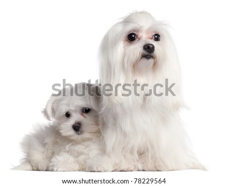 Maltese, 9 years old, and Maltese puppy, 3 months old, in front of white background