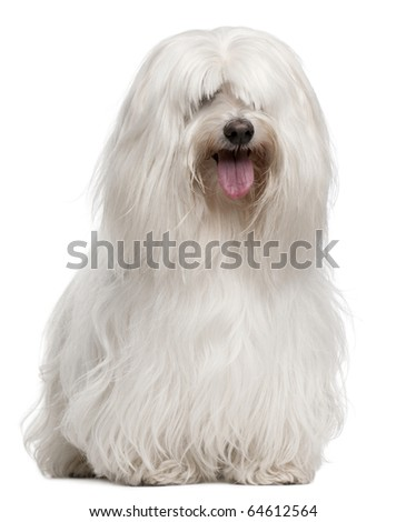 Maltese, 8 years old, sitting in front of white background - stock photo
