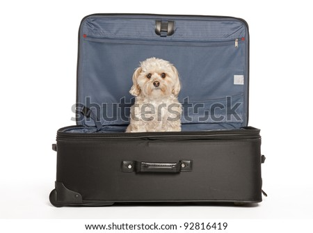 Maltese - Yorkie (Morkie)  Puppy in Travel Suitcase