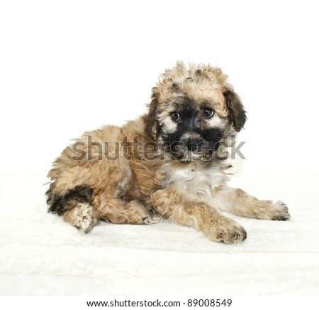 Malti-Poo Puppy on a white background.