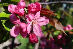 Malus profusion - crabapple pink flowers closeup. Blooming  crabapples (crab apples, crabtrees or wild apples)