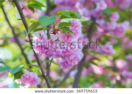 Malus pumila natural lovely pink fragrant spring flowers of a malus pumila natural lovely pink fragrant spring flowers of a paradise apple tree in mightylinksfo