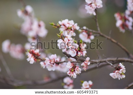 Apricot flowers on a tree in nature ez canvas mightylinksfo