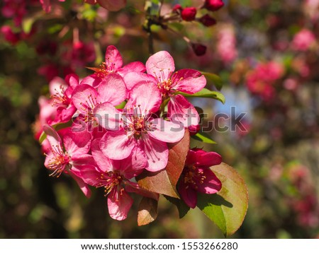 Malus Rudolph, dark pink flowers, close up. Crab Apple Rudolph or flowering Crabapple tree, with purple blossoms in the blurred bokeh background. Early spring. Abstract floral pattern design, backdrop Stock photo ©