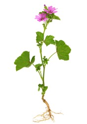 Malva sylvestris known as common mallow, the entire plant, with root, leaves and flowers