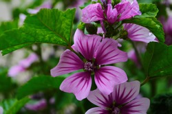 Malva Sylvestris Zebrina or Zebra Hollyhock is vigorous plant with showy flowers of bright mauve-purple with dark veins.