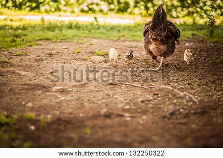 Mama chicken and her chicks from the back