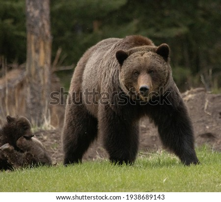 Mama Grizzly Bear in the wild with her cute baby cubs in the Canadian Rockies - Jasper National Park, Alberta, Canada Stock fotó ©