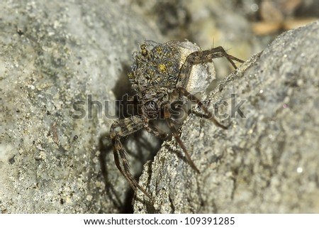 Mama Wolf Spider With Babies On Her Back
