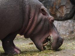 Mamalia Common hippopotamus,Hippopotamus amphibius - Kudanil