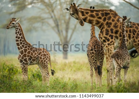 mamma giraffe with babe giraffes in the forest