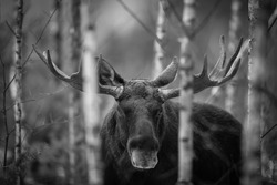 Mammal - bull moose (Alces). Portrait of elk, moose. Moose, North America, or Eurasian elk, Eurasia, Alces alces in the dark forest during rainy day.