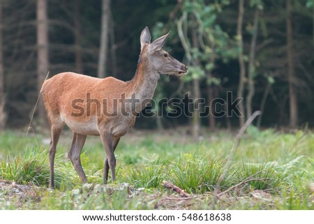 Mammals - European deer in a forest clearing (Cervus elaphus) doe (female) #548618638