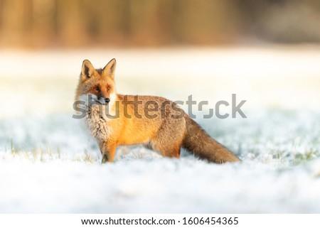 Mammals - European Red Fox (Vulpes vulpes) ストックフォト ©