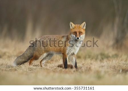 Mammals Fox