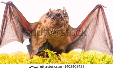 Mammals naturally capable of true and sustained flight. Bat emit ultrasonic sound to produce echo. Bat detector. Ugly bat. Dummy of wild bat on grass. Wild nature. Forelimbs adapted as wings. #1402605428