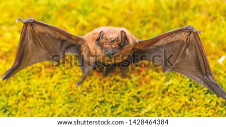 Mammals naturally capable of true and sustained flight. Bat emit ultrasonic sound to produce echo. Bat detector. Dummy of wild bat on grass. Ugly bat. Wild nature. Forelimbs adapted as wings. #1428464384