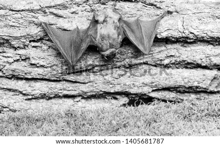 Mammals naturally capable of true and sustained flight. Eyes bat species small poorly developed. Bat detector. Dummy of bat wooden background. Ugly bat. Forelimbs adapted as wings. #1405681787