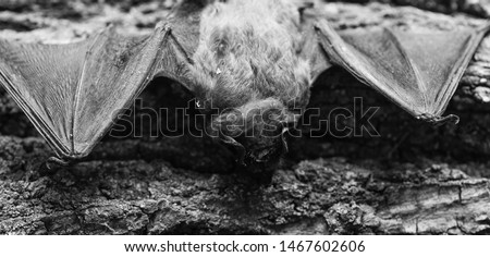Mammals naturally capable of true and sustained flight. Eyes bat species small poorly developed. Bat detector. Dummy of bat wooden background. Ugly bat. Forelimbs adapted as wings. Museum of nature. #1467602606