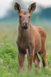Mammals - young moose  (Alces)