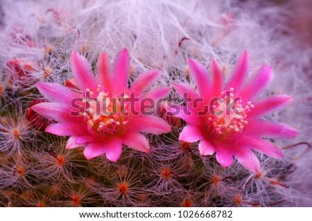Mammillaria bocasana cactus