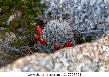 Mammillaria dioica, called the strawberry cactus, California fishhook cactus, strawberry pincusion or fishhook cactus. A small cacti with barbed thorns and small tasty fruit. Pima County, Arizona.