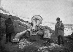 Mammoth carcass exhumed in Siberia in the spring of 1902 by the expedition sent by the Russian Academy of Sciences, vintage engraved illustration. From the Universe and Humanity, 1910.