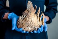 mammoth tooth with roots in  hands of  man. Fossilized remains of extinct herbivores. Paleontological exhibits.