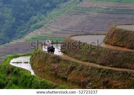 Man and water buffalo working on rice terrace