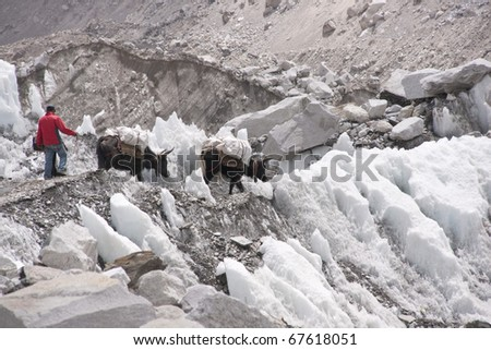 Man and yaks loaded with supplies walking across the ice of the Khumbu glacier on the way to Everest Base Camp in Nepal