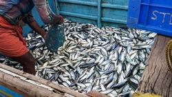 man collecting the fish from boat at chombala harbor,vadakara,kerala