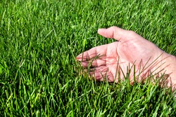 Man examining healthy green grass lawn. Inspecting, inspection, caring, care, looking, thick, outside, sunshine, seed, fescue, tall, watering, perfect, soil, manicured, blade, thick, perfect