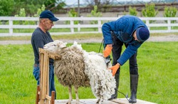 Man farmer shearing the sheep with sharp scissors. White wool trimming.